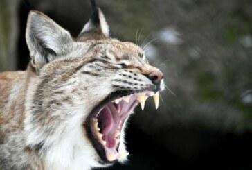 Рысь напала на кошку в центре Кирова, опасности для людей нет